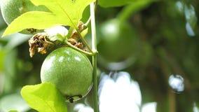 O fim disparou acima na nutrição alta verde da vitamina do fruto de paixão da natureza fresca video estoque
