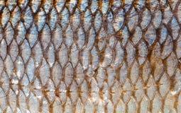 O fim do fundo das escalas de peixes acima Cor da prata e do ouro Imagens de Stock Royalty Free