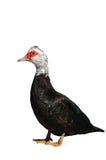 O fim do ganso acima em um fundo branco pássaro Fotos de Stock