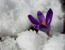 O fim do inverno - flor do açafrão Imagem de Stock Royalty Free