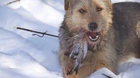 O fim fecha-se acima acima do problema do cão disperso sujo disperso que come um pássaro do pombo o inverno dos cães de pássaro e video estoque