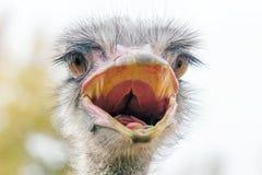 O fim irritado da avestruz acima do retrato, fecha-se acima do camelus do Struthio da cabeça da avestruz fotografia de stock royalty free