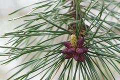O fim levanta nas sementes e nos frutos dos pungens do pinus do pinho de montanha da tabela Imagens de Stock