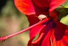 O fim pequeno bonito do macro do erro acima no hibiscus vermelho floresce Fotografia de Stock Royalty Free