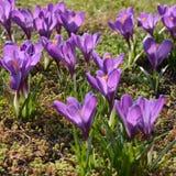 O fim violeta bonito da flor do açafrão acima grama na primavera Fotografia de Stock