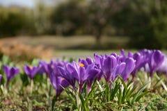 O fim violeta bonito da flor do açafrão acima grama na primavera Foto de Stock Royalty Free