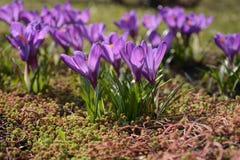 O fim violeta bonito da flor do açafrão acima grama na primavera Fotografia de Stock Royalty Free