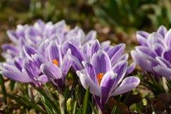 O fim violeta bonito da flor do açafrão acima grama na primavera Fotos de Stock Royalty Free