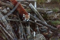 O firefox da panda vermelha Imagem de Stock