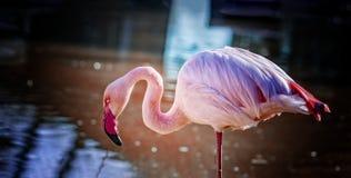 O flamingo chileno está estando na água e está pescando na água descansar o fundo é água azul pura imagens de stock royalty free