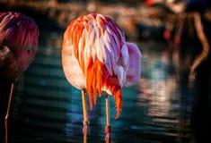 O flamingo chileno está estando na água e sua cabeça é escondida nas penas descansar o fundo é água azul pura fotografia de stock royalty free