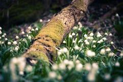 O floco de neve da mola floresce a flor, florescendo no ambiente natural da floresta, madeiras Fundo da mola com bokeh forte Fotografia de Stock Royalty Free