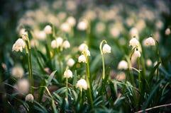 O floco de neve da mola floresce a flor, florescendo no ambiente natural da floresta, madeiras Fundo da mola com bokeh forte Imagens de Stock Royalty Free