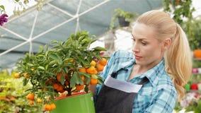 O florista fêmea que olha o mandarino frutifica no centro de jardim vídeos de arquivo