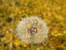 O fluff branco do dente-de-leão no outono planta o fundo fotografia de stock