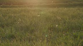O fluff do álamo branco voa em um campo no por do sol filme