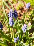 o fluxo crescente azul da mola brota a planta verde fora da natureza Fotos de Stock