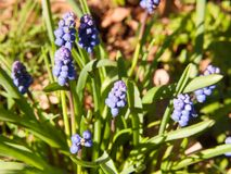o fluxo crescente azul da mola brota a planta verde fora da natureza Foto de Stock Royalty Free