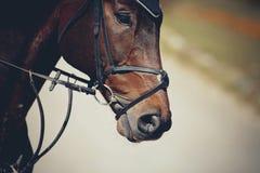 O focinho é garanhão marrom dos esportes no freio Cavalo do Dressage imagens de stock royalty free