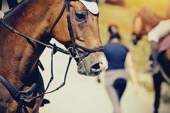 O focinho é garanhão vermelho dos esportes no freio Cavalo do Dressage fotos de stock