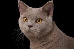 O focinho cinzento do gato britânico com amarelo eyes o close up em um fundo preto Fotos de Stock Royalty Free