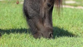 O focinho de um cavalo preto pasta a grama em um gramado no slo-mo vídeos de arquivo