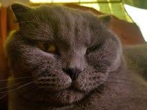 O focinho de um gato cinzento com amarelo grande eyes o retrato da dobra do Scottish do close-up um gato irritado do olhar com ca Fotos de Stock