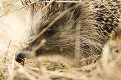 O focinho do ouriço selvagem europeu no feno Fotos de Stock Royalty Free