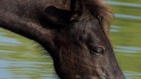 O focinho preto do cavalo bebe a água do lago em um dia ensolarado no verão filme