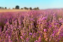 O foco macio da alfazema floresce sob a luz do por do sol Fundo natural do close up do campo em Provence, França Imagem de Stock Royalty Free