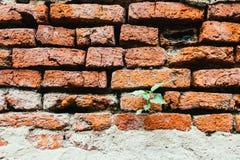 O foco macio de pouca árvore cresce na parede de tijolo velha Imagens de Stock