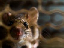 O foco macio do rato estava em uma gaiola que trava um rato o rato tem o contágio a doença aos seres humanos tais como a leptospi fotos de stock royalty free