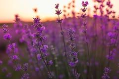 O foco macio e obscuro da alfazema floresce sob a luz do nascer do sol Fundo natural do close up do campo em Provence, França Imagens de Stock