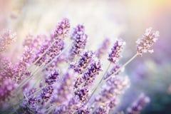 O foco macio na flor da alfazema, flor da alfazema iluminou-se pela luz solar Fotografia de Stock Royalty Free