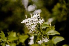 O foco macio o bonito do jasmim de estrela Scented Imagem de Stock Royalty Free