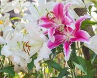O foco seletivo do lírio colorido floresce com luz do sol, selecti Fotos de Stock Royalty Free