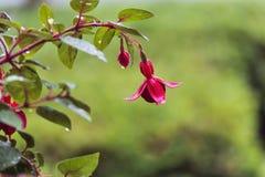 O foco seletivo foi usado nesta flor fúcsia coberta chuva Fotografia de Stock Royalty Free