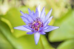 O foco seletivo Lotus roxo isolado com lotes da abelha no meio com folhas do verde borrou o fundo Fotografia de Stock