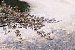 O fosso exterior encheu-se com a flor de cerejeira petalsmay seja chamado ` de Hanaikada do ` ou tapete da cereja no parque de Hi Fotografia de Stock