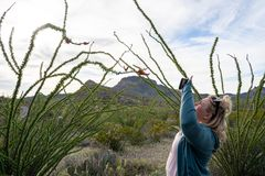 O fotógrafo da mulher toma fotos de um cacto de florescência do Ocotillo com seu telefone esperto imagens de stock royalty free