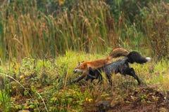 O Fox vermelho e o Fox de prata (vulpes do Vulpes) correm à esquerda Fotos de Stock