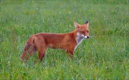 O Fox vermelho está na grama verde entre um campo fotos de stock