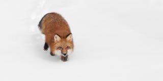 O Fox vermelho (vulpes do Vulpes) trota através do espaço da cópia da neve deixado Fotografia de Stock