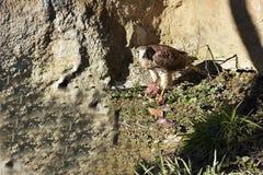 O francelho comum, [tinnunculus de Falco] Fotos de Stock