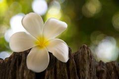 O Frangipani é uma flor 'do pa tailandês foto de stock