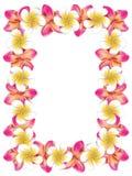 O frangipani branco e cor-de-rosa floresce o quadro Fotos de Stock Royalty Free