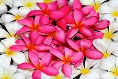 O Frangipani cor-de-rosa, amarelo, e branco floresce na água Imagem de Stock