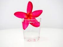 O frangipani cor-de-rosa floresce a flutuação em um vidro pequeno da água Imagem de Stock