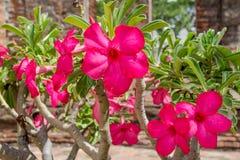 O frangipani exótico floresce a opinião (do plumeria) Imagem de Stock Royalty Free