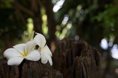 O Frangipani ? uma flor ?de termas tailandeses imagem de stock